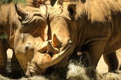 Rhinos royalty free stock photography