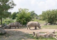 rhinos Fotografia Stock Libera da Diritti