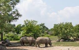 rhinos Royaltyfri Fotografi