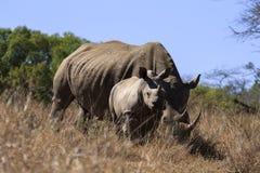 rhinos Royaltyfria Bilder