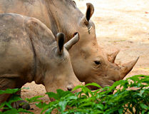 Rhinos. Grazing Rhino Royalty Free Stock Image