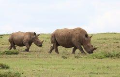 2 rhinos Стоковая Фотография RF