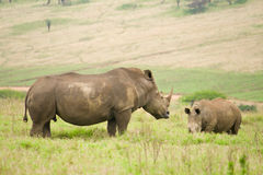 Rhinos. African black rhinos in the wild stock photography
