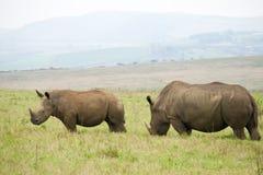 rhinos Arkivbilder