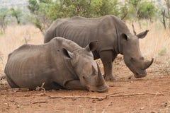 rhinos Royaltyfri Bild