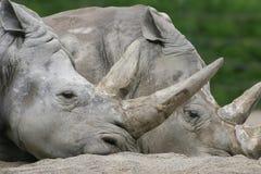 rhinos стоковые изображения rf