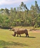 rhinos Immagini Stock