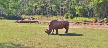 rhinos Stockfoto