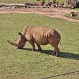 rhinos Stockfotografie