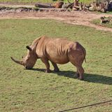 rhinos Fotografia Stock