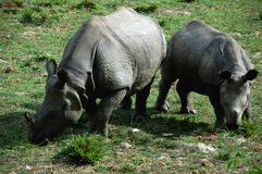 Rhinos Stock Photography