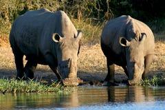 Rhinos ad un foro di innaffiatura Immagine Stock