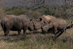 Rhinos Affections Calf. Two rhinos touching each other with horns and mouths while rhino cub looks on closely of the interaction Royalty Free Stock Photography