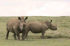 Rhinos in Africa Stock Photos