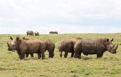 Rhinos in Africa Stock Images