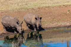 Rhinos Wildlife Water Mirror Royalty Free Stock Photo