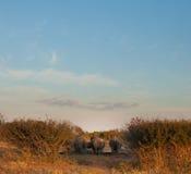 Rhinos behinds an einem Bewässerungsloch stockfotos