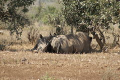 rhinos biały obrazy royalty free