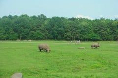 Rhinos bianchi Immagine Stock
