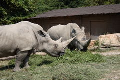 Rhinos bianchi Fotografie Stock Libere da Diritti