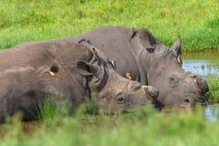 Rhinos Birds Sleeping Waterhole. Rhinos horns cut for protection from poachers sleeping at waterhole summer closeup with ox-pecker birds cleaning ticks and fleas royalty free stock photos