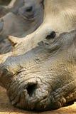 Rhinos blancos Imágenes de archivo libres de regalías