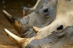 Rhinos blancos Imagenes de archivo