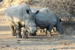 Rhinos blancos Imagen de archivo libre de regalías