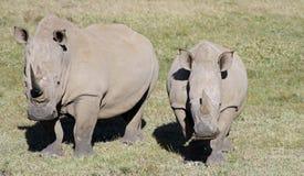 Rhinos blancos Foto de archivo libre de regalías