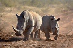 Rhinos brancos Imagens de Stock Royalty Free