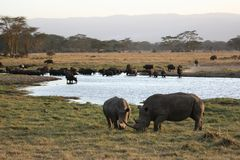 Rhinos and buffaloes Stock Images
