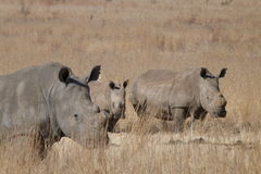 Rhinos  with  calf Stock Photos