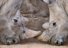 Rhinos Confronted. Close up of the heads of two rhinos, confronted face to face with their horns clashing Stock Images