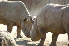 Rhinos de la lucha Fotografía de archivo libre de regalías