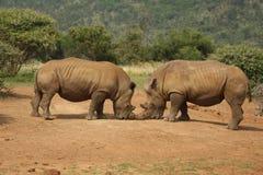 Rhinos de la lucha, Suráfrica Fotos de archivo libres de regalías