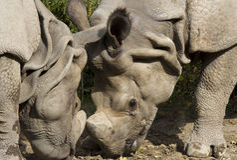 Rhinos in der Liebe Stockbild