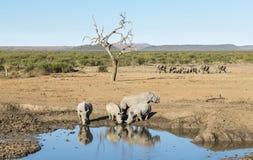 Rhinos em um furo molhando Fotografia de Stock