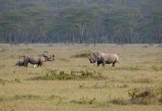 rhinos för kalvkvinnligkenya male nakuru Royaltyfria Foton