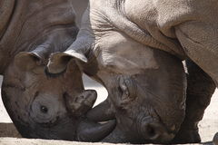 Rhinos fight Stock Photo
