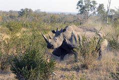 Rhinos fighting royalty free stock photo