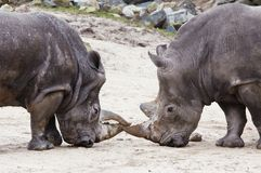 Rhinos fighting Stock Photo