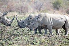 Rhinos fighting in Pilanesberg National Park stock photo
