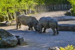 Rhinos fighting Stock Photos