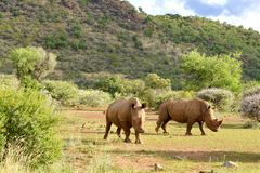 Rhinos grazing. Two adult rhinos grazing in  Pilansberg Game Reserve South Africa Royalty Free Stock Photos
