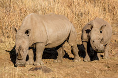Rhinos grazing Stock Images