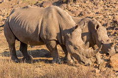 Rhinos grazing Royalty Free Stock Photo