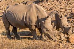 Rhinos grazing Royalty Free Stock Photo