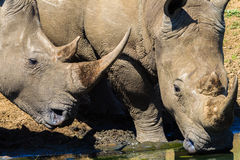 Rhinos Heads Drinking Royalty Free Stock Photos
