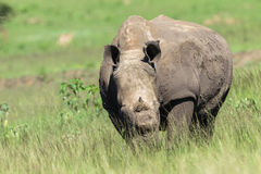 Rhinos Hornless Wildlife Stock Photography