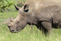 Rhinos Hornless Wildlife Stock Photos